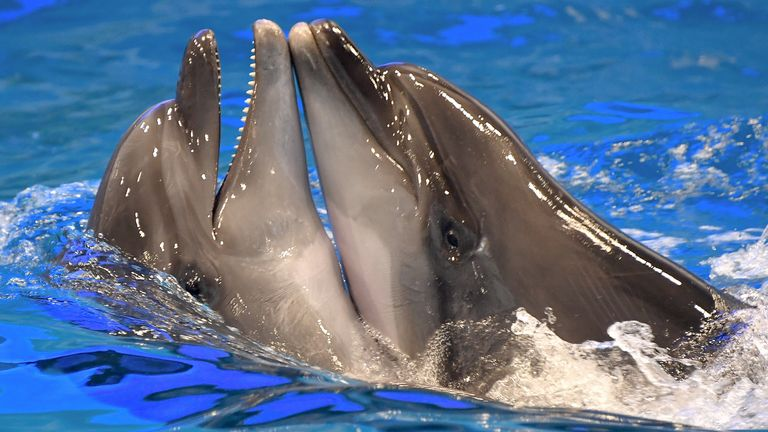 VLADIVOSTOK, RUSSIA � JANUARY 12, 2021: Black Sea common bottlenose dolphins during an open training session in the dolphinarium at the Okean medical centre. The Okean medical centre has a wide range of health resort facilities, including mud baths, a physiotherapy department, a hydrotherapy department, a seawater pool, a gym, healthy meals, and hotel accommodation. At the beginning of 2021, the dolphinarium started to offer a new service, dolphin therapy, that includes a programme of correction