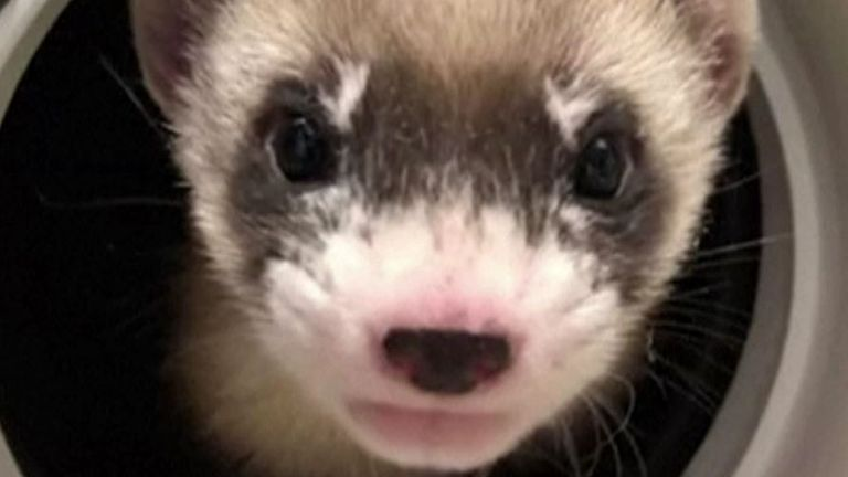 Scientists successfully clone a ferret in the US