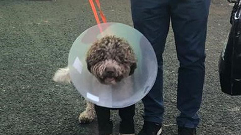 Undated handout photo issued by Vets Now of 11-month-old puppy Monty, the lagotto romagnolo, who had a miraculous escape after falling 40ft off the 19th Century Oswald's bridge crashed through the ice covering the River Ayr in Prestwick, Scotland, while his owners looked on. Issue date: Monday February 8, 2021.