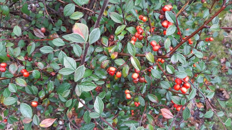 "Bushy, hairy-leafed cotoneaster is a ""super plant"" which can help soak up pollution on busy roads"