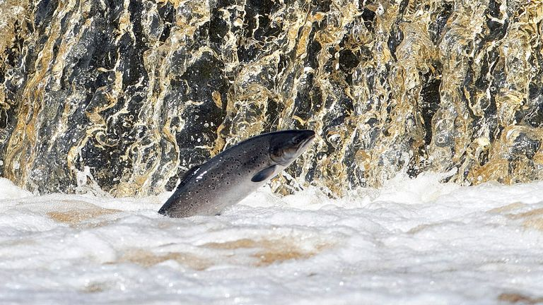 Salmon have seen significant declines since the 1960s