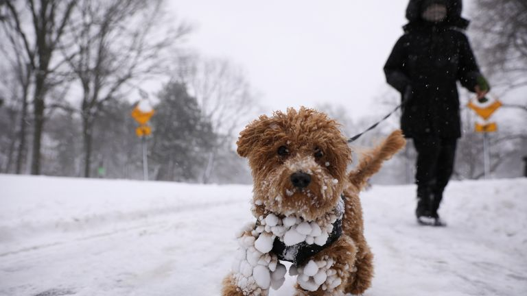 Maui, a Balinese Poodle, in Central Park