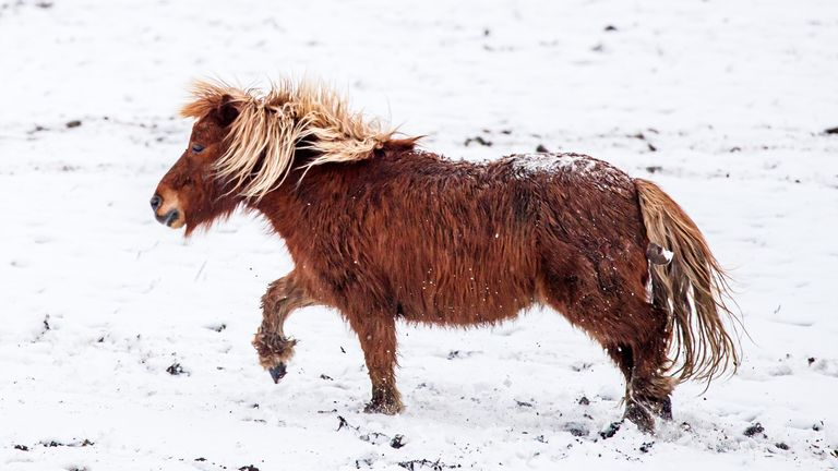 A pony in South Yorkshire plays in the snow, as icy conditions look set to bring disruption to parts of UK