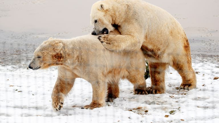 These two polar bears enjoyed playing in their natural environment at the Yorkshire Wildlife Sanctuary
