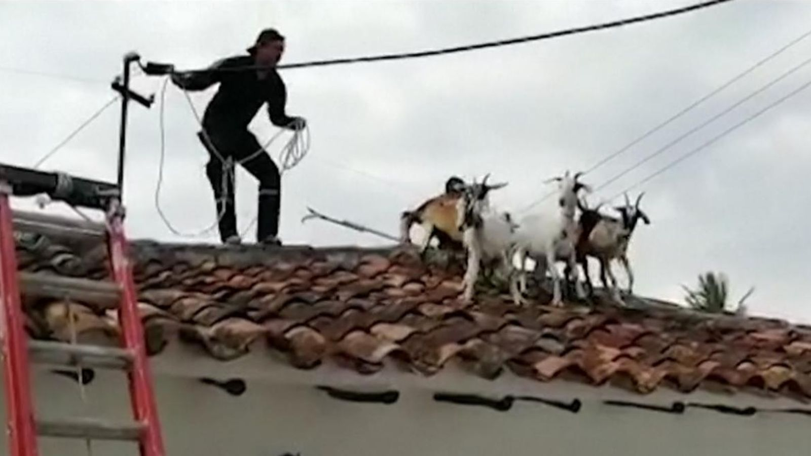 Colombia: Goats kidding around on rooftop rescued | World News | Sky News