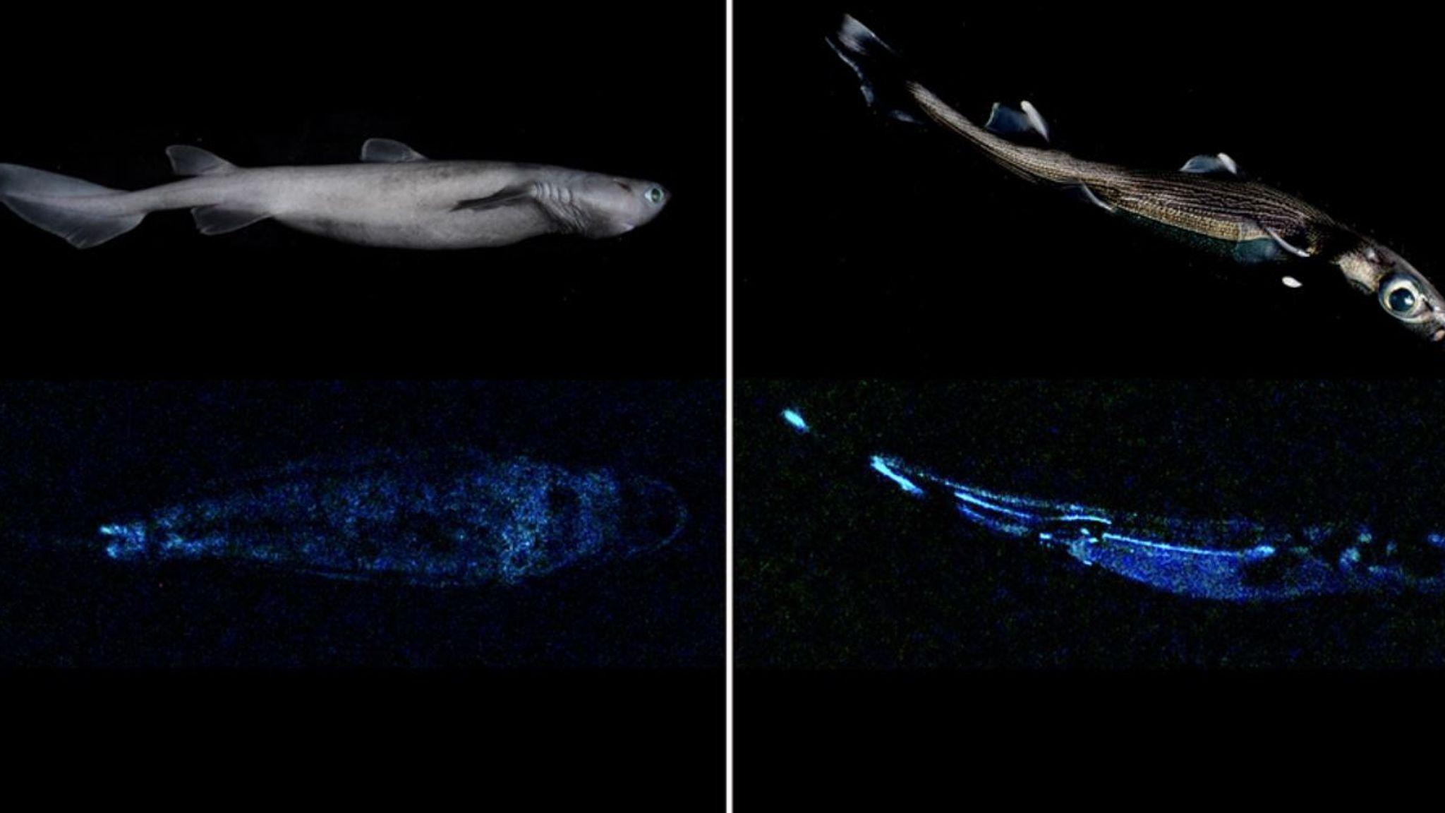 Scientists find three new shark species that glow in the dark | Offbeat  News | Sky News