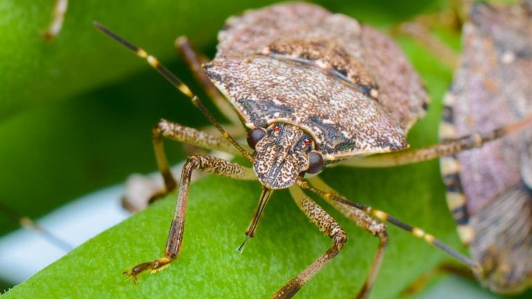 The brown marmorated stink bug. Pic: T. Haye/CABI