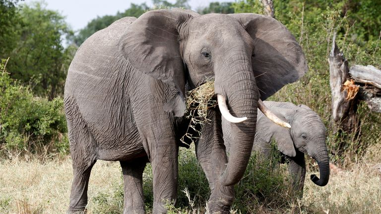 Elephants graze at the Singita Grumeti Game Reserve, Tanzania, October 7, 2018. Picture taken October 7, 2018. REUTERS/Baz Ratner