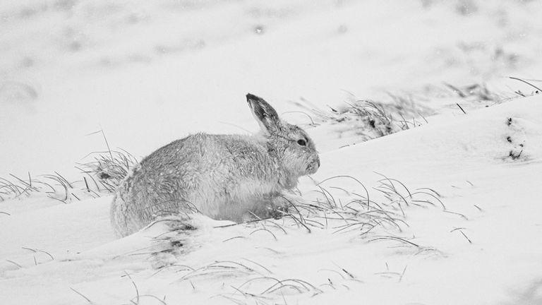 Kelinci terkenal dengan kamuflase musim dinginnya