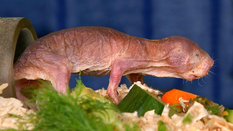 (dpa) - A naked mole rat, a mouse-sized rodent from Africa, is running through artificial channels in the zoo in Dresden, Germany, 25 February 2002. Naked mole rats are the only known mammals that live in a truly social system consisting of 20-300 individuals similiar to that of bees, ants and termites. Photo by: Wolfgang_Thieme/picture-alliance/dpa/AP Images