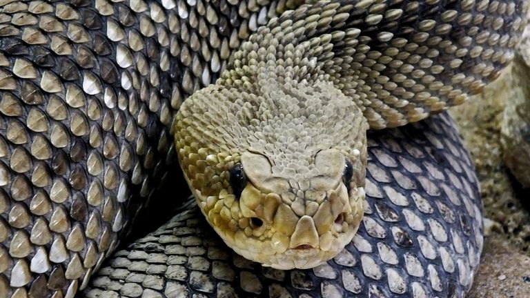 Mexican west coast rattlesnake (crotalus basiliscus) Photo by: Rolf Wilms/picture-alliance/dpa/AP Images