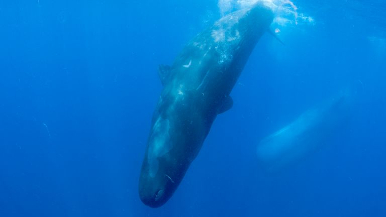 A pod of sperm whales dives into the deep blue sea