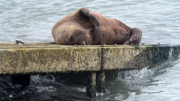 The walrus has been lapping up attention from the public