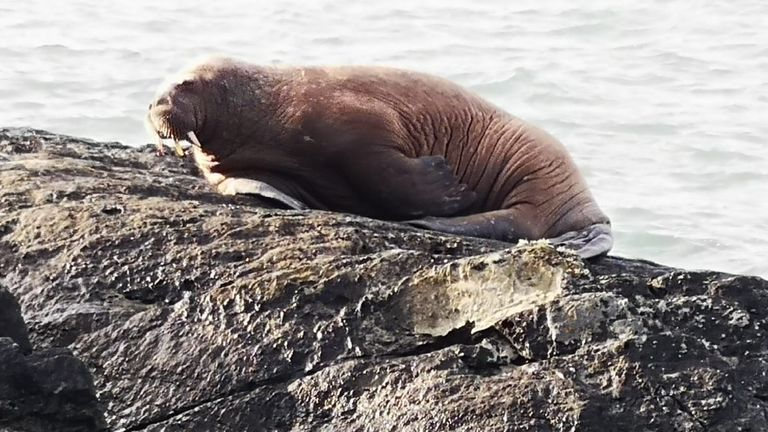 Undated handout photo of the walrus that was spotted by five year old Muireann Houlihan along the coast of Valentia Island, Co Kerry, believed to have drifted over to Ireland from the Arctic.