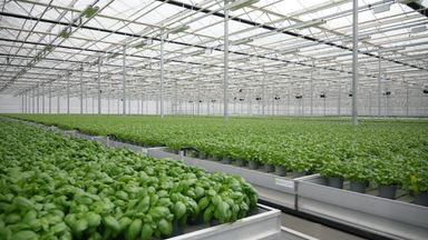 Basil being grown at Bridge Farm in Lincolnshire