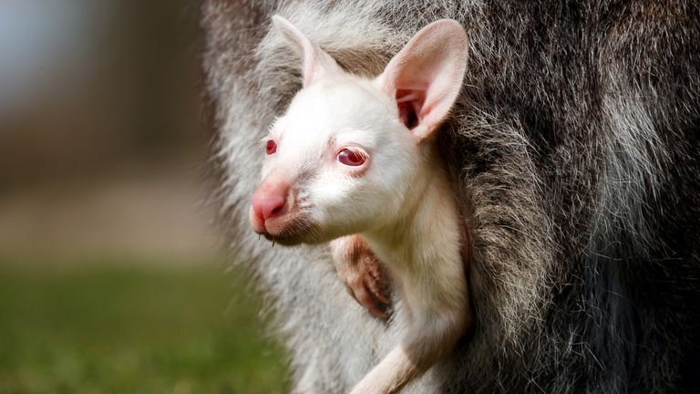 The albino wallaby was born while the park was closed to the public