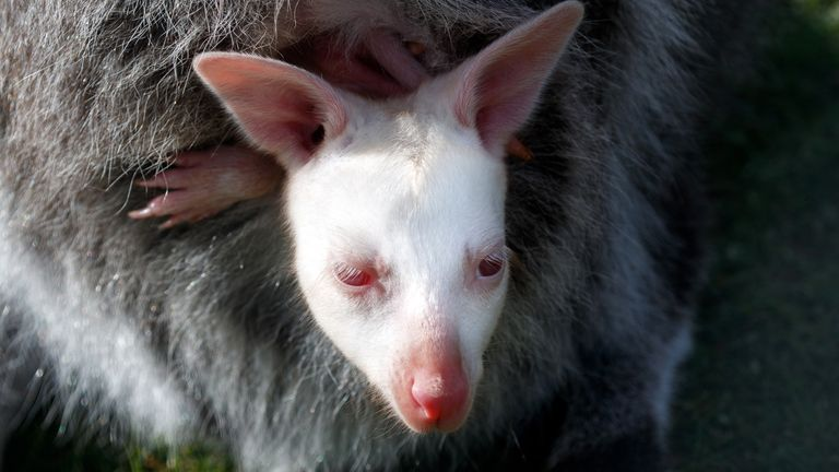 It is not known if the joey is male or female