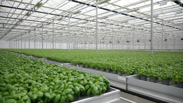 Basil is grown at Bridge Farm in Lincolnshire