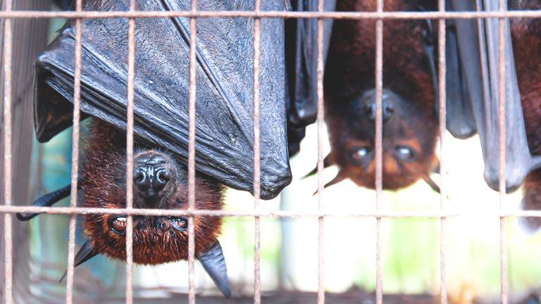 Flying foxes bats are seen at a food market in Indonesia