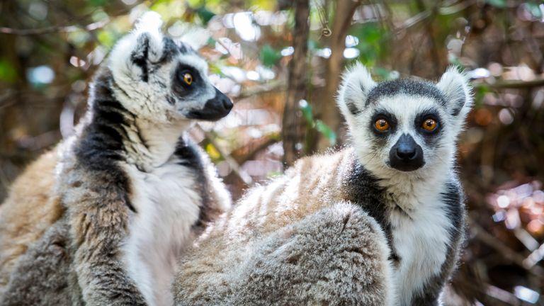 Ring-tailed Lemur, Maki catta, Anja Reserve, Madagascar