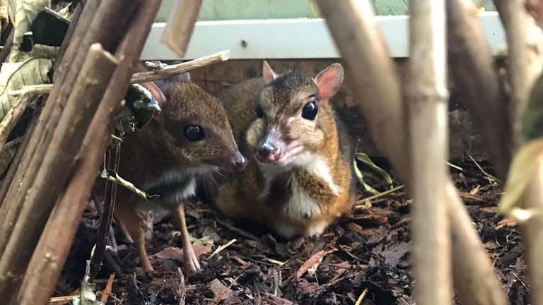 A  baby mouse deer, who stands the height of a pencil, is reported to be thriving at Bristol Zoo.