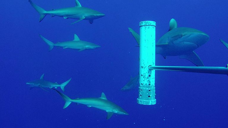 Undated handout photo issued by Marine Futures Lab, University of Western Australia showing Silky sharks near one of a network of underwater camera rigs which are being rolled out across UK Overseas Territories to help protect wildlife under the waves. Issue date: Saturday April 3, 2021.