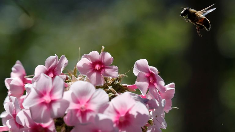 The phlox comes to flower around the time of the April full moon