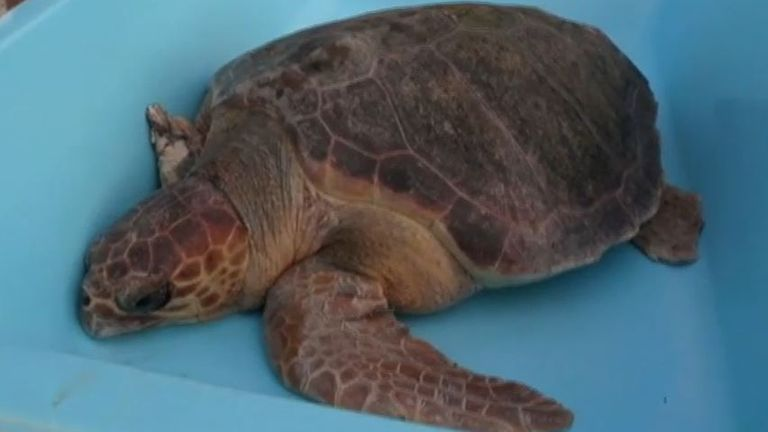 Turtle with three flippers released back into sea