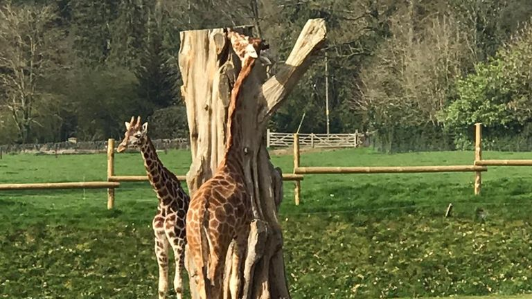 Giraffes graze on trees inside the park