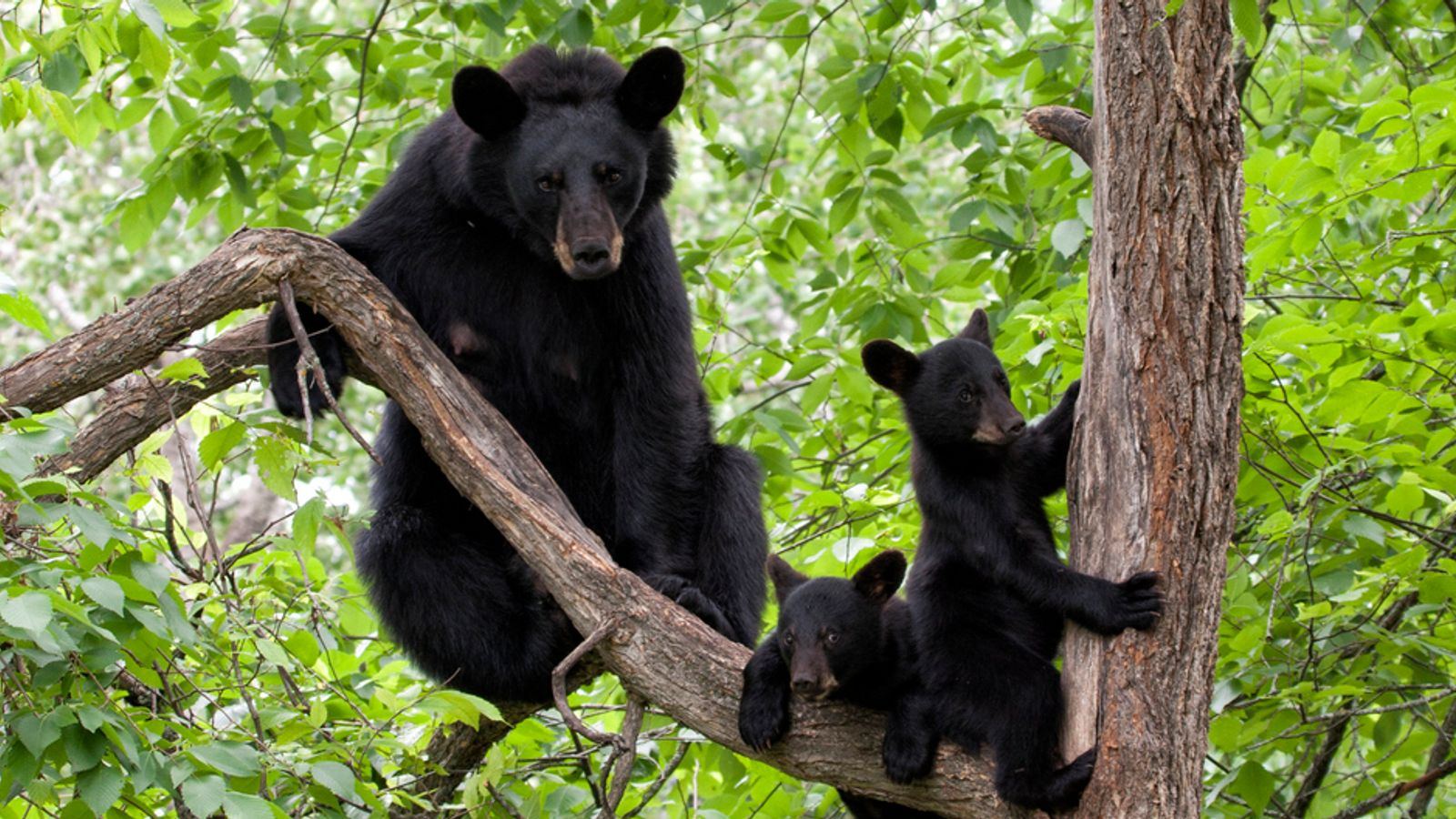 Human remains found in two bears following fatal attack on woman