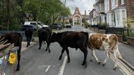 The mischievous bullocks enjoyed their day out on the town