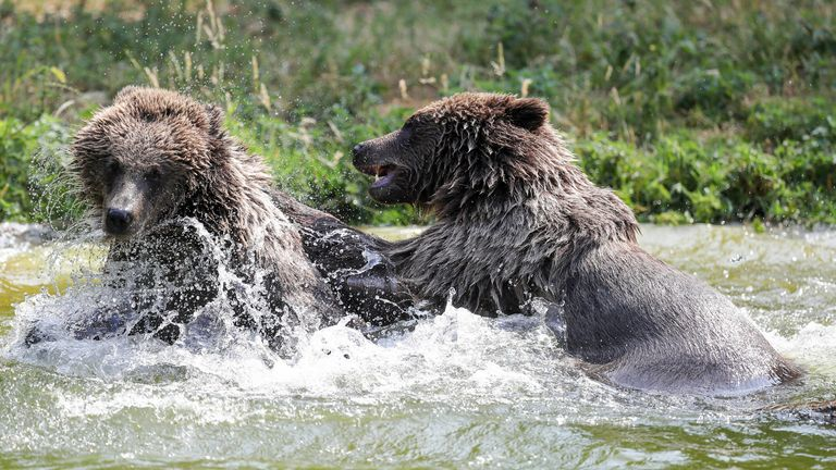 Two European Brown bears at Whipsnade Zoo