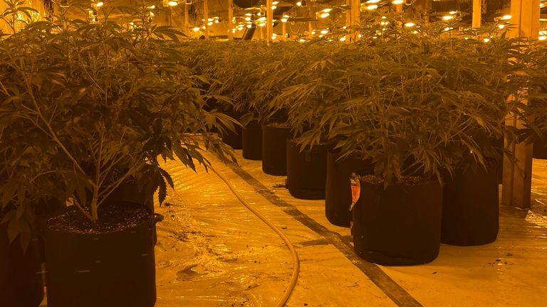 Cannabis plants worth an estimated £2.18m were found in the raid