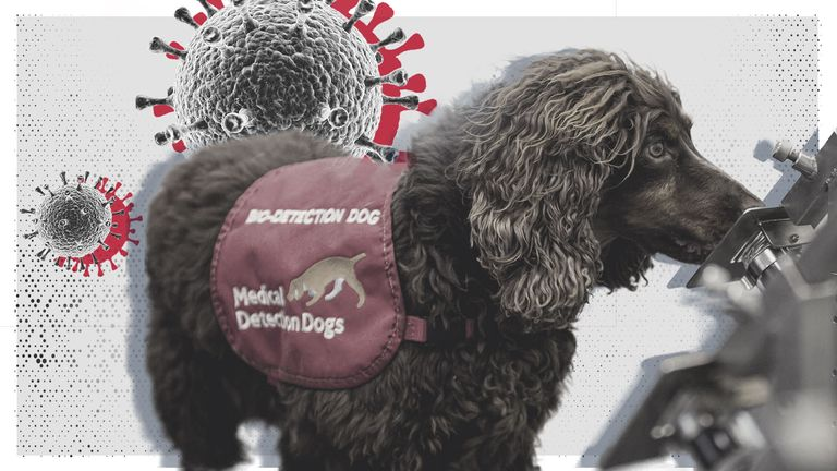 Dogs can be trained to sniff out COVID-19, research has shown