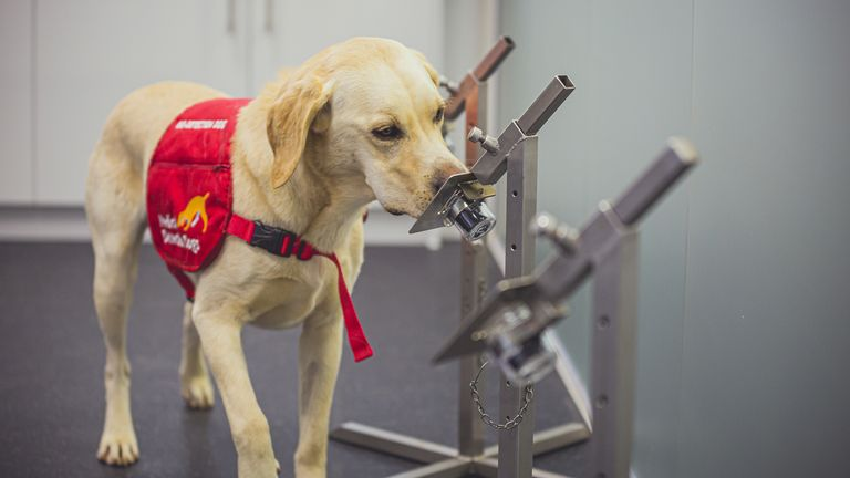 One of six Medical Detection Dogs that took part in a double-blind trial to see if they could detect coronavirus. Covid-19 infection has a distinct smell that can be detected by specially trained dogs with up to 94% accuracy, UK research suggests. Issue date: Monday May 24, 2021.