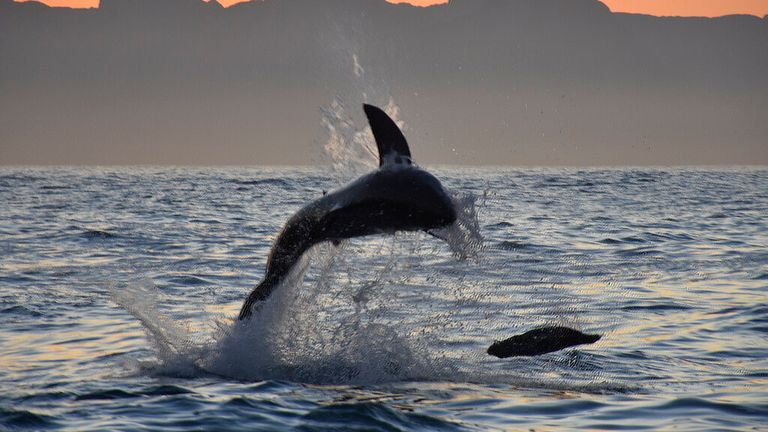 Great white breaching while hunting seals in False Bay, South Africa Pic: Andre Seale / VWPics via AP Images