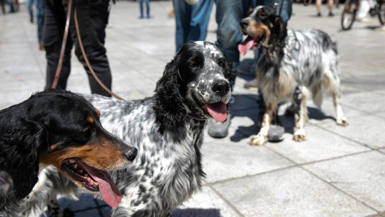 Dogs with their owners are seen during a rally against a proposed law by the government related to household pets, at Syntagma square, in Athens, Sunday, May 23, 2021. Several hundred dog owners, most of them also hunters, and their pets, protested outside the Greek Parliament Sunday against a new law, still at the consultation stage, that mandates sterilization of household pets. (AP Photo/Yorgos Karahalis)