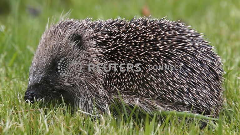 Hedgehogs are designated 'vulnerable' on the UK Red List of UK mammals