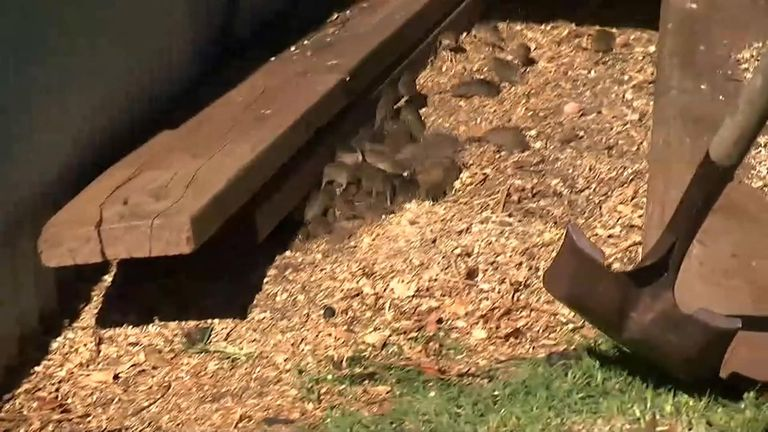 Towns in New South Wales are infested with mice after a bumper crop led to a mass breeding season.