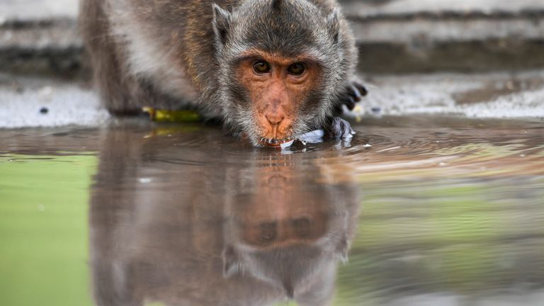 The long-tailed macaque is native to large parts of south and Southeast Asia