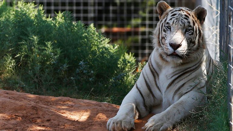 A tiger is pictured at the Exotic Animal Park in Oklahoma. Pic: AP