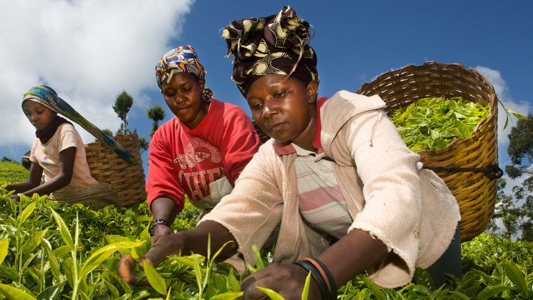 Workers picking tea leaves in Kenya, where climate change is threatening production, a report warns