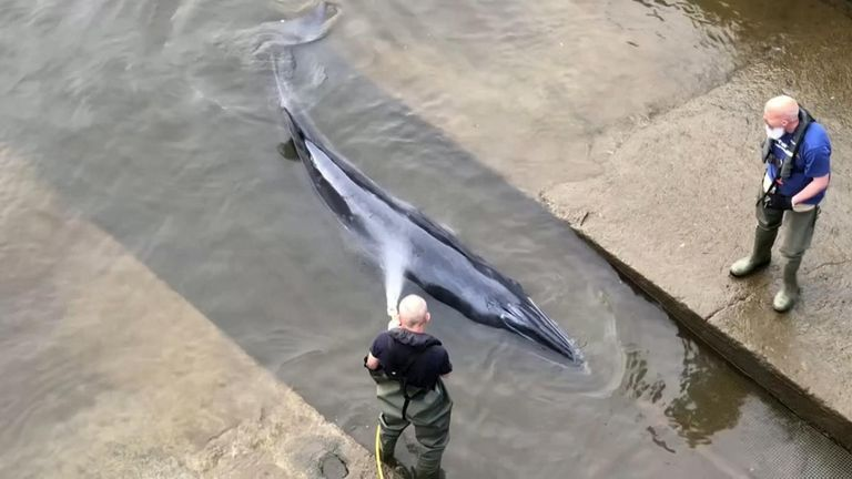 It is believed the whale was first spotted a few miles up the river near Barnes Bridge.