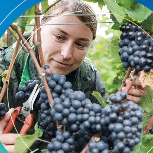 Climate change could make South Downs ripe for wine-making boom