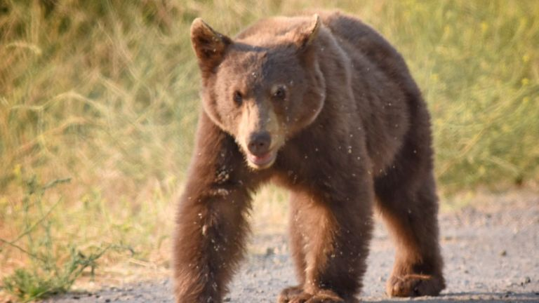 The American black bear is commonly seen in urban spaces throughout California. Bears are the state animal for California