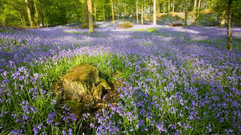 Bluebell woods could become a thing of the past in southern and central England