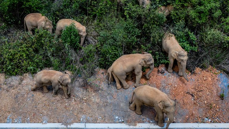 The animals may have left their forest home because of a lack of food. Pic: Xinhua via AP