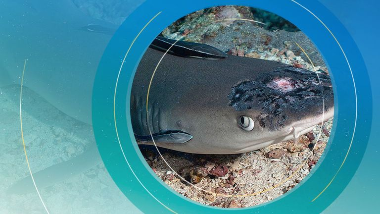 A whitetip reef shark with white spots and lesions. Pic: Jason Isley/Scubazoo