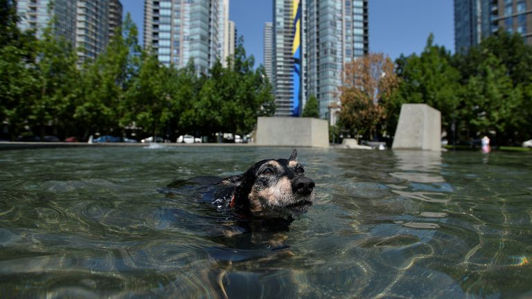 A German Pincer cools of in a fountain during scorching weather in Vancouver