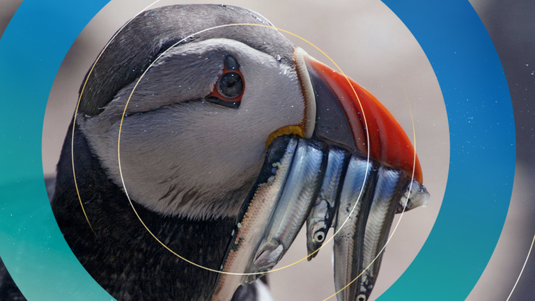 Puffin numbers have declined dramatically in the last few years
